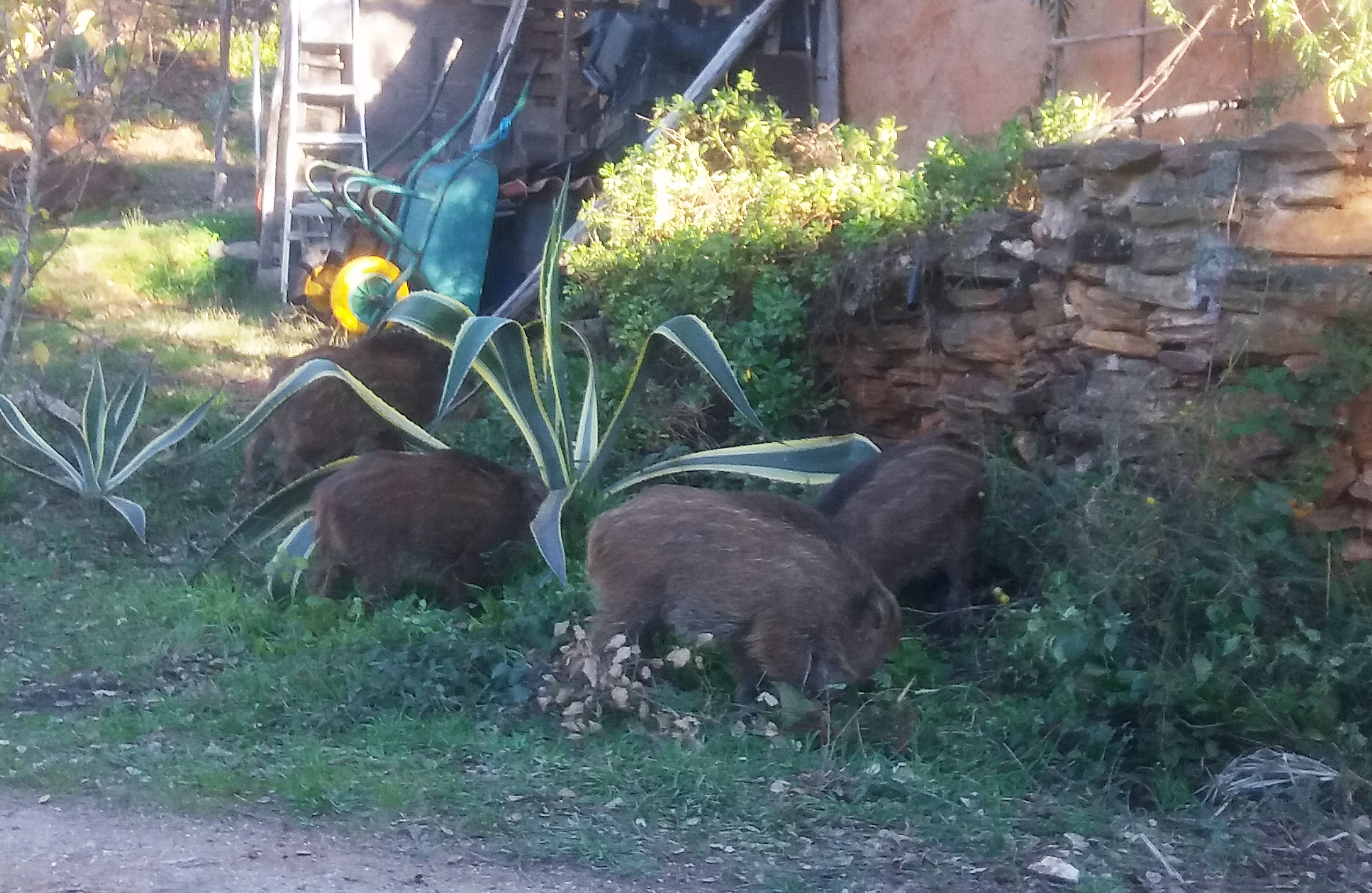 Wildboars Visiting Our Living Spaces